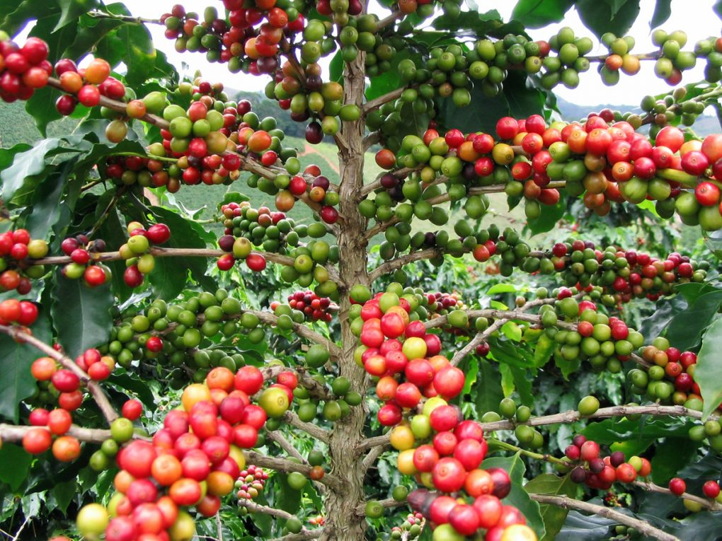 arabica robusta (5)