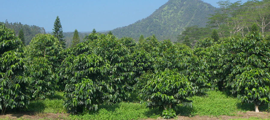 arabica robusta (6)